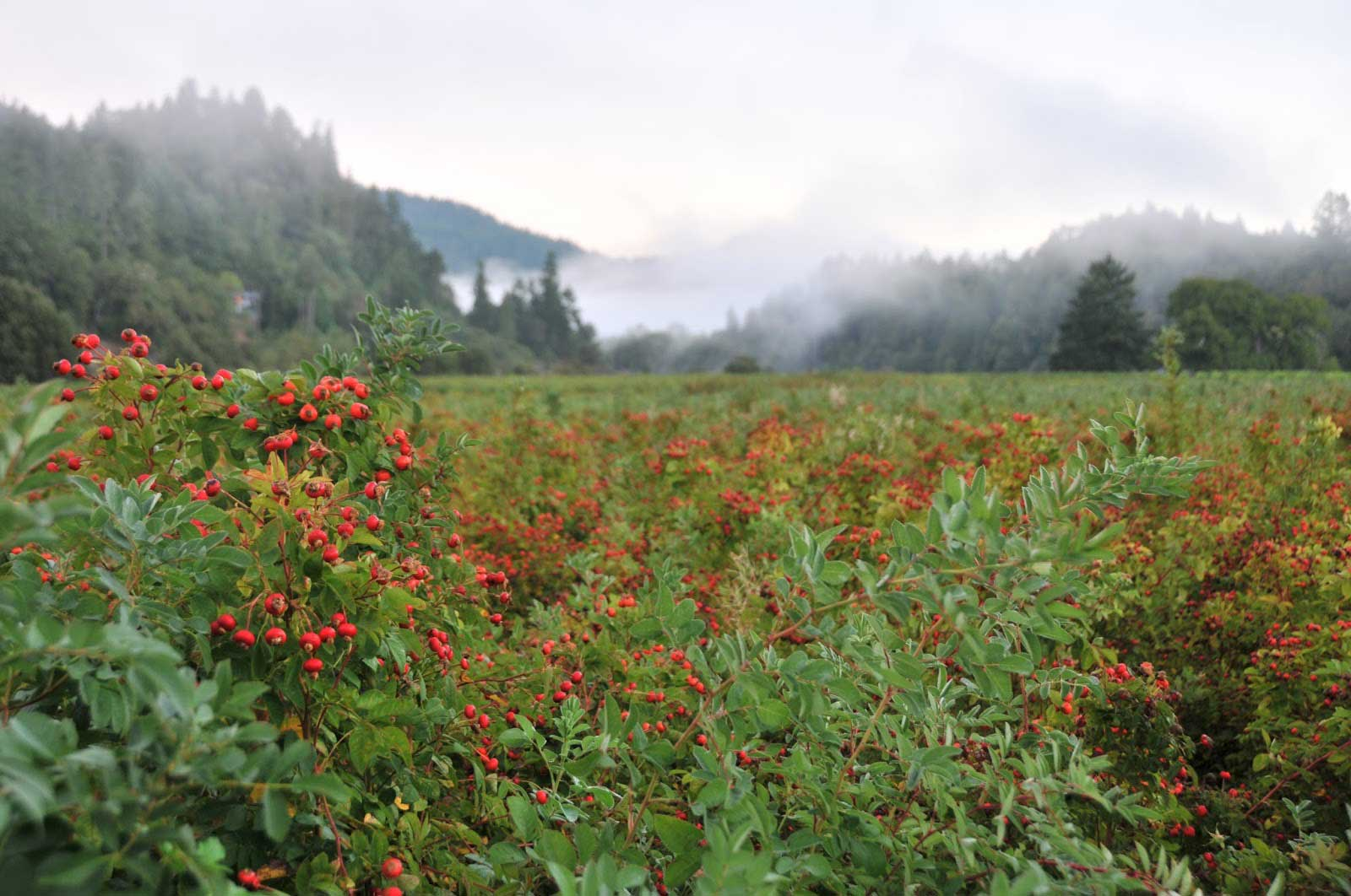 RoseLine rosehip foggy weather
